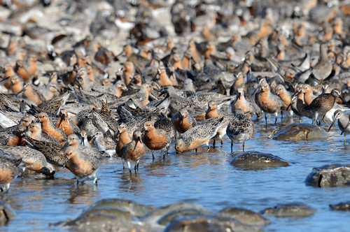 Red Knot | by U. S. Fish and Wildlife Service - Northeast Region