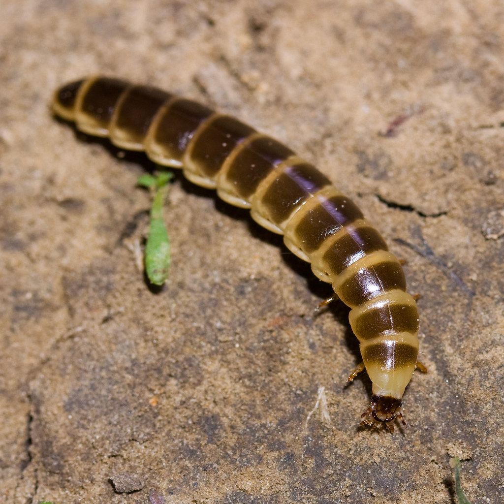 Railroad Worm in Cave Habitat