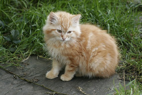 Big Fluffy Orange Kitten | by Chriss Pagani