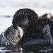 8 of 9 Sea Otter (Enhydra lutris), female, marine mammal, with her baby pup
