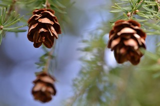 Spring Pine Cones | by FlackJacket2010