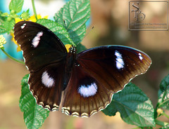001. Great Eggfly (Jaamooi) Butterfly - Male