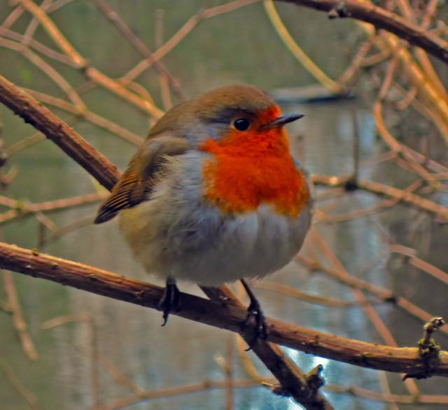 British Robin Flickr Photo Sharing