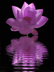 Purple Lotus Flower | by Bahman Farzad