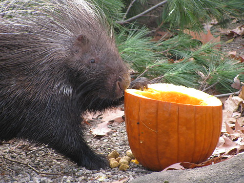 Porcupine | by Potter Park Zoo