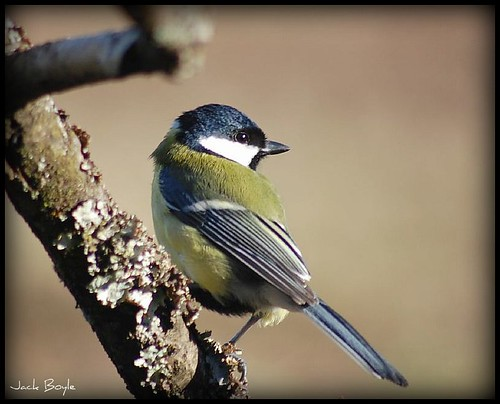 Great Tit ! | by jackatlargs