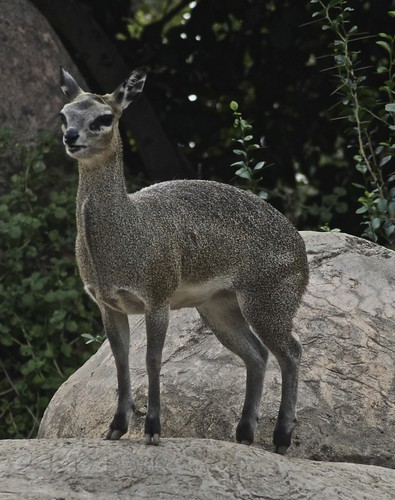 Klipspringer | by Just chaos