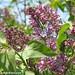 Lilacs! 1