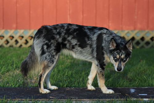 Aussie Dog Breed Traits