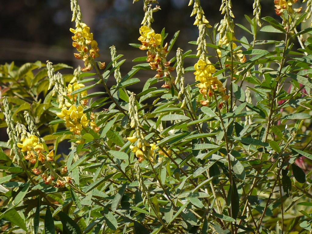 Rattlebox Fabaceae Pea Or Legume Family 187 Crotalaria