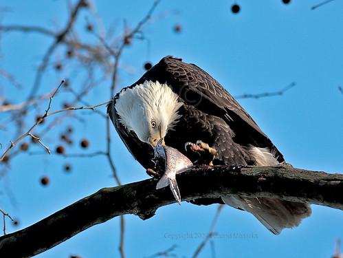 American bald eagle eating fish american bald eagle for Fish eating eagle