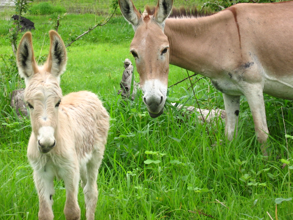 Mom And Baby Donkey
