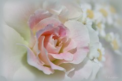 Rosa 'Seduction' | by *christine**