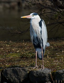 heron | by julesberry2001