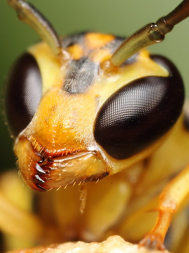 Yellow wasp | by Gustavo Mazzarollo