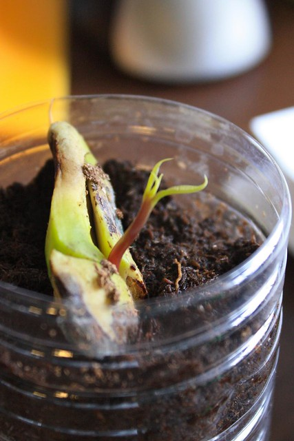 Sprouting Mango | The Mango seed that i planted at work is ...