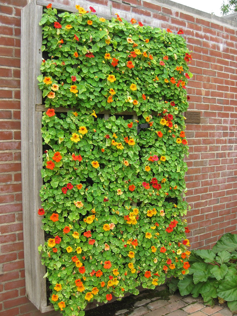 nasturtium vertical flower bed jvidelka flickr