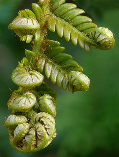 Sadleria cyatheoides #2 | by J.G. in S.F.