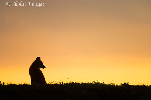 Arctic Fox Silhouette | www.imgkid.com - The Image Kid Has It!