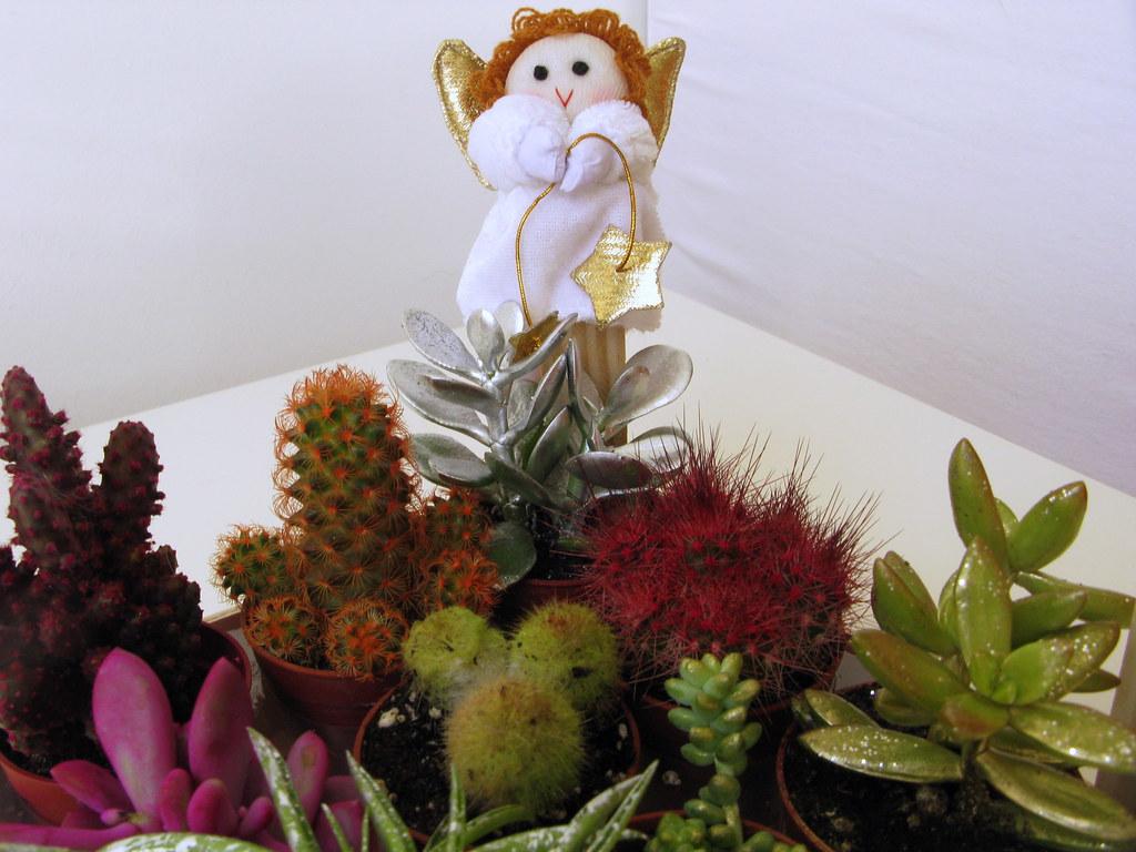 Cactus de navidad que les hacen a las plantas en los for Cactus de navidad