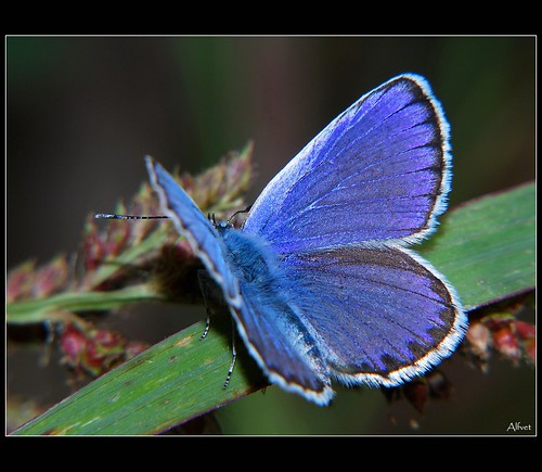 Blue wings | by alfvet