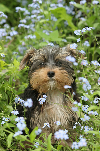 Dog Amid Blue Flowers | by Caninest