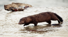 Mink on the Shenandoah River, North Fork 20091122-_MG_9896 | by Steven David Johnson