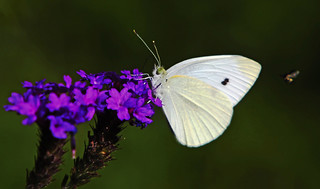 Cabbage White : Someone is closing in ??? | by Clement Tang **bbbusy**