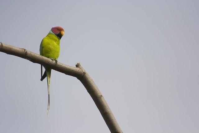 Plum-headed parakeet - Male