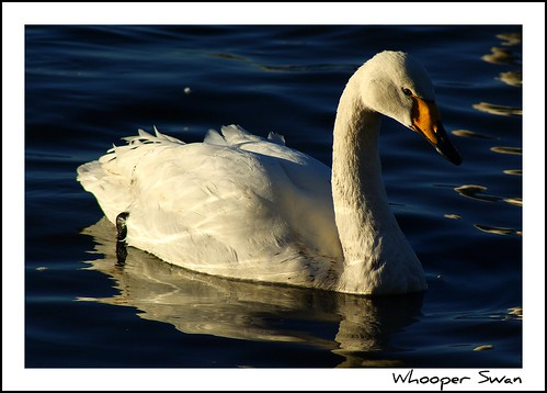 Whooper Swan | by hellotim80