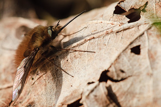Bee Fly | by das-f
