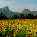 Sunflowers Lopburi Thailand 112808 07
