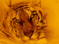 Save Our Tigers™