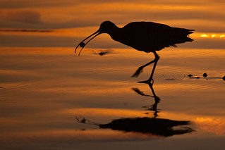 Long-billed Curlew Numenius americanus eating a sand crab at sunset | by mikebaird