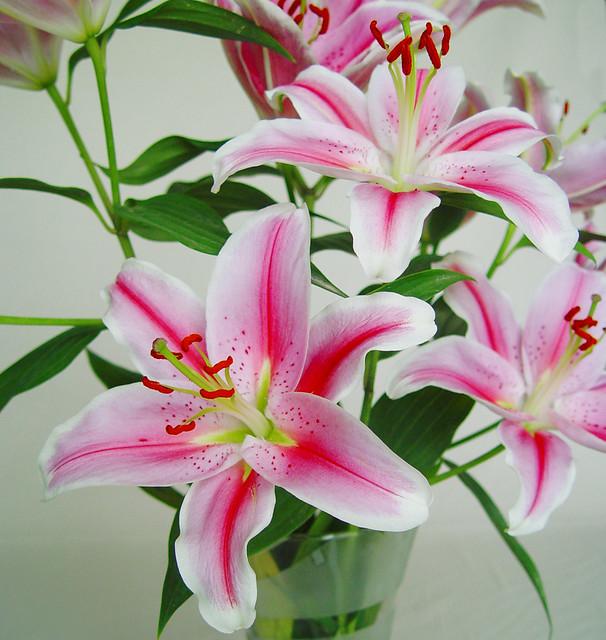 Flores de lilium oriental rosa el lilium y su comercio for Las plantas ornamentales y sus nombres