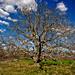Macedonian Tree