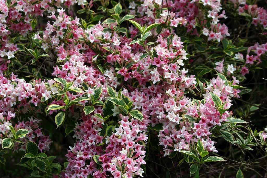 IMG_9970 Variegated Weigela | This - 368.7KB