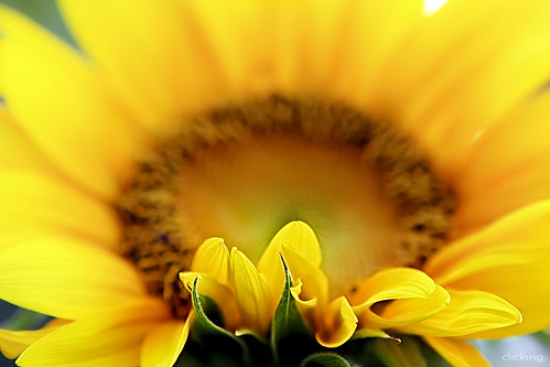 Sunflower | by -clicking-