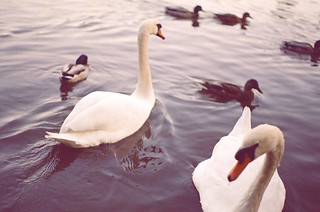 swans. | by ting s,