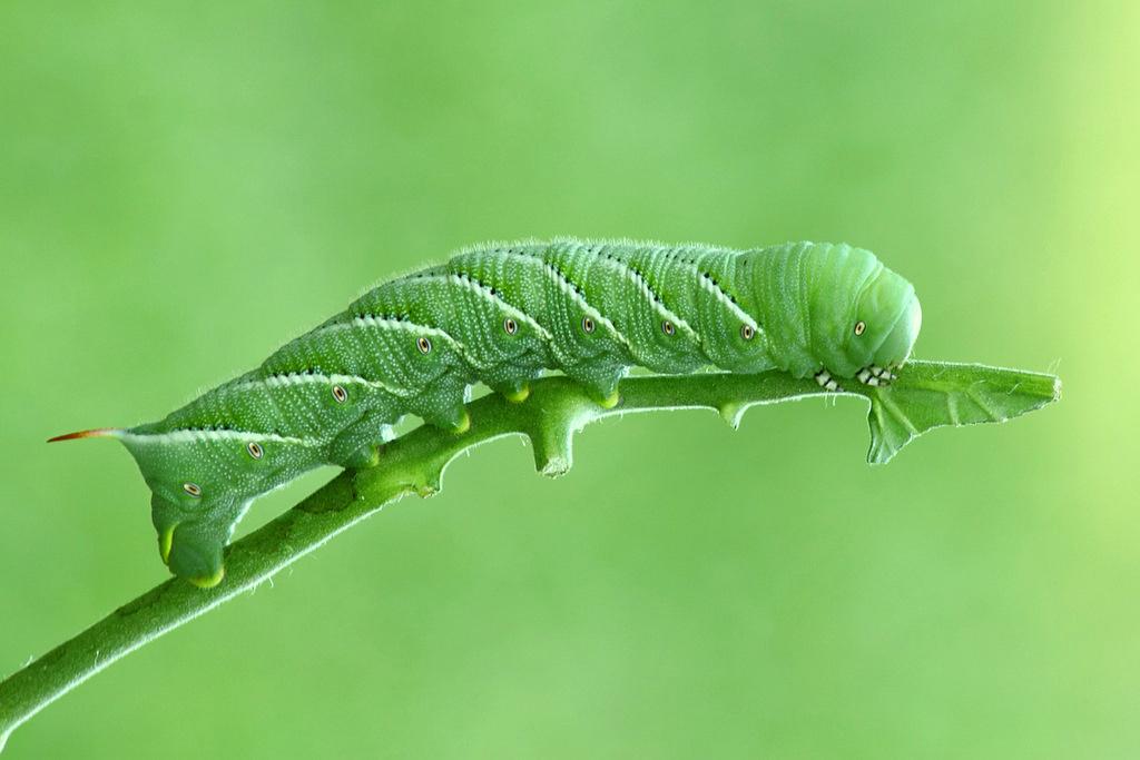 Tobacco Hornworm | I found this tobacco hornworm on my ...