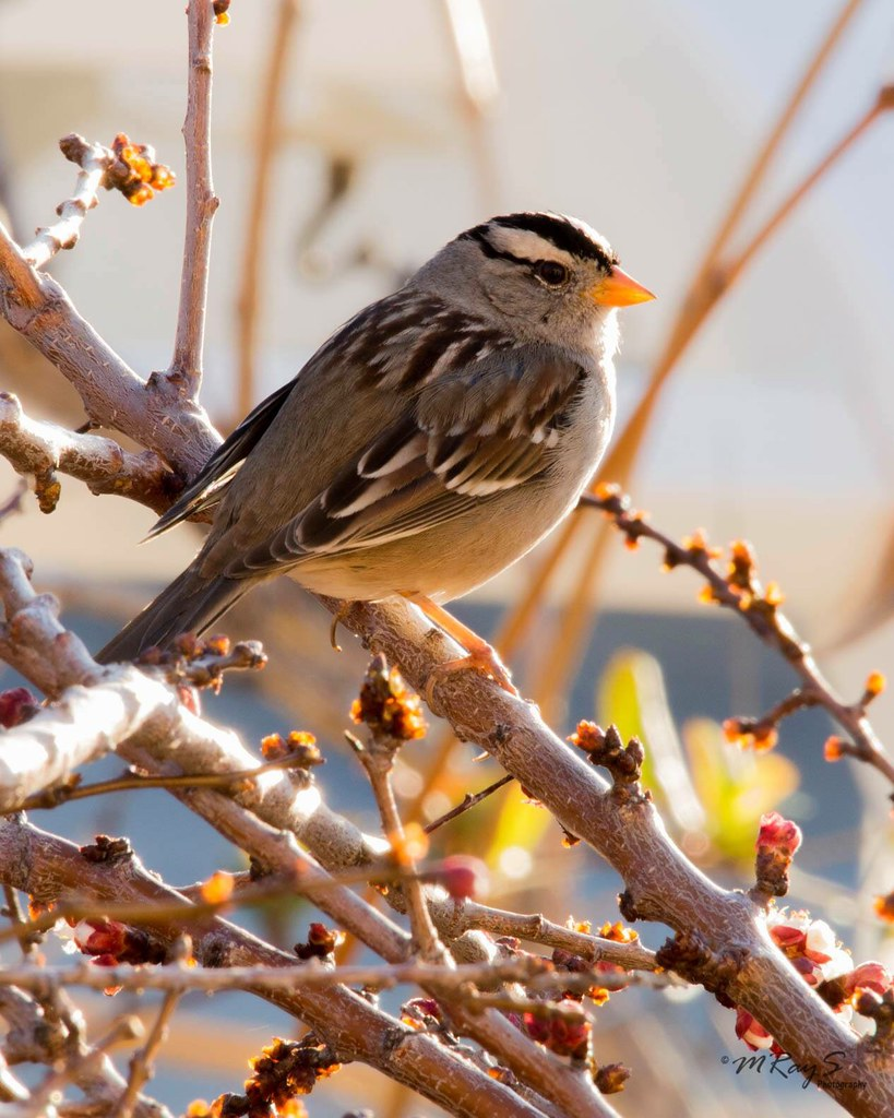 White Crowned Sparrrow