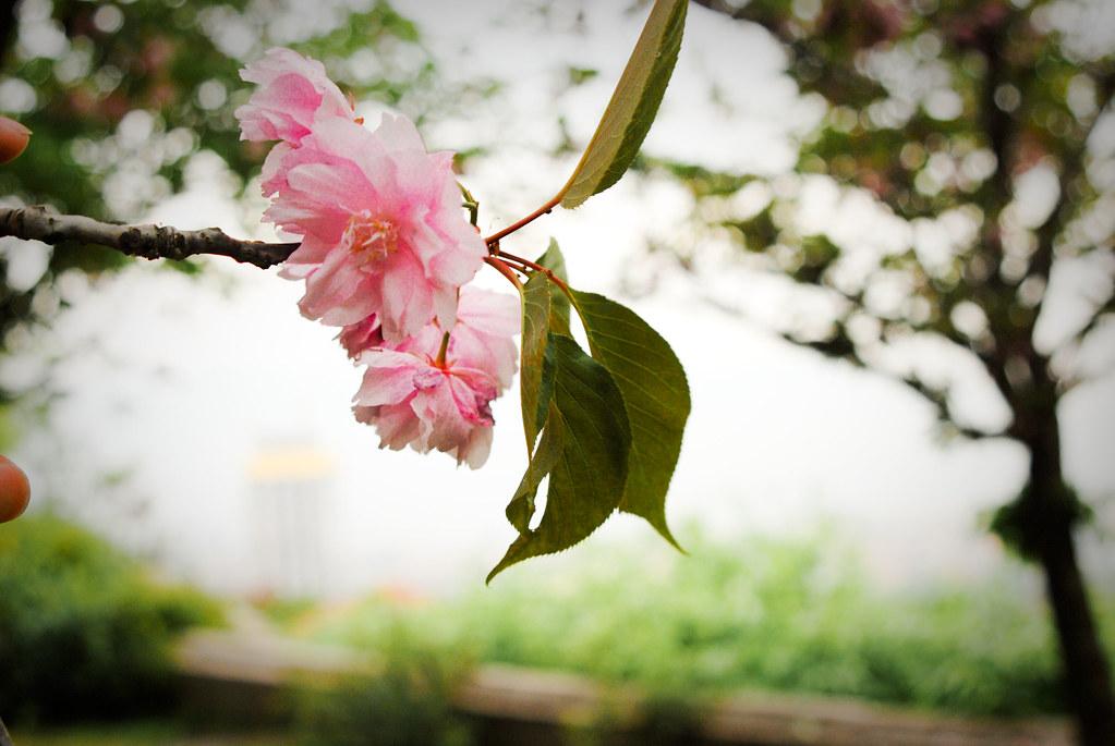 Sakura O Flor De Cerezo En Japón La Flor Del Cerezo Y Flickr