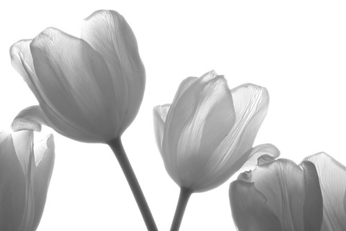 Tulips | by Nitekite