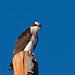 IMG_8476 Osprey