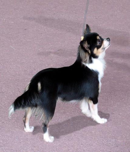 Long Hair Chihuahua Pretty Longhaired Chihuahua At Dog