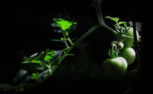 Twilight Tomatoes | by asha susan