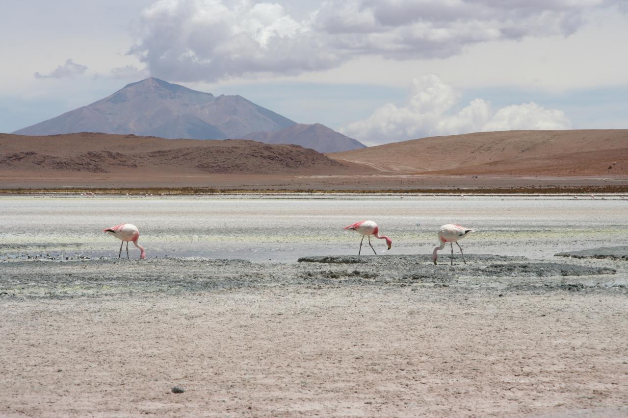 flamingos, volcano