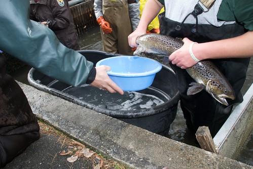 Richard cronin national salmon station volunteers for Mass fish and wildlife