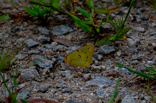 Orange Sulphur | by sheryl2010