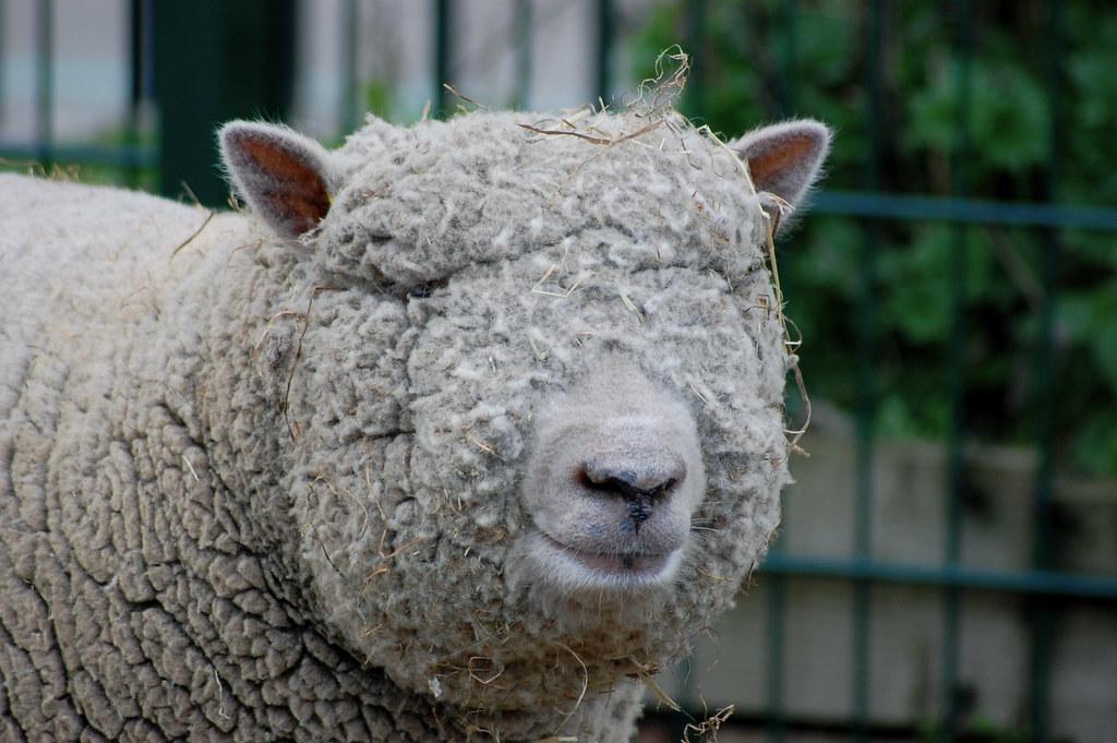 Blind Sheep Toby Bradbury Flickr